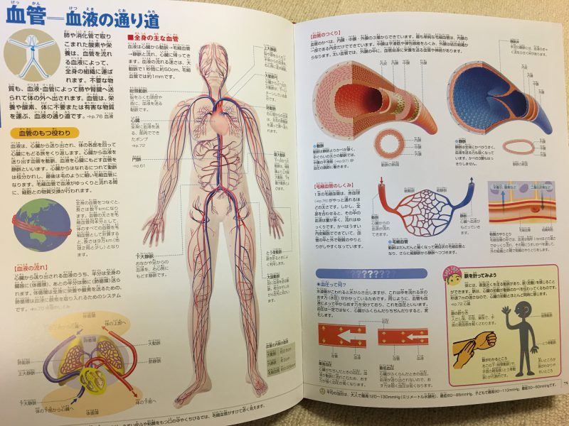 『小学館の図鑑NEO 人間・いのちの歴史』血管の通り道